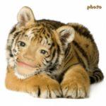 Coloca tu foto y serás un Tigre de Bengala