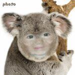Pega tu foto en el rostro de un hermoso Koala