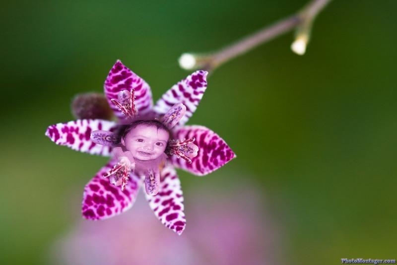montaje lily